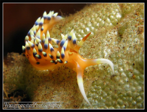 Flabellina Nudibranch (Latin name unknown), Seraya, Bali ... by Marco Waagmeester